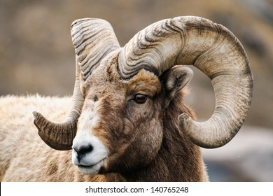 Rocky Mountain Big Horned Sheep in springtime, Alberta Canada