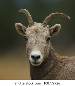 Rocky Mountain Bighorn Sheep, close-up portrait with a very smooth background