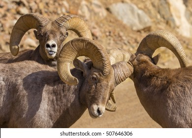 Rocky Mountain Bighorn Sheep during the autumn rut - Waterton Canyon, suburban Denver, Colorado.  Photobomb of sheep sticking out blue tongue in background.