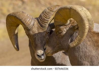 Rocky Mountain Bighorn Sheep during the autumn rut - Waterton Canyon, suburban Denver, Colorado