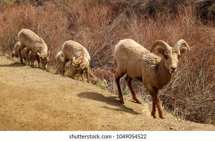 rocky mountain bighorn sheep grazing along the south platte river in waterton canyon, littleton, colorado