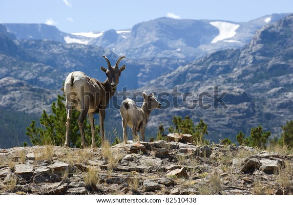 Rocky Mountain bighorn sheep with lamb in Wind River Range, Wyoming