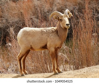 rocky mountain bighorn sheep ram  standing along the south platte river in waterton canyon, littleton, colorado