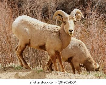 rocky mountain bighorn sheep ram grazing by the south platte river in waterton canyon, littleton, colorado