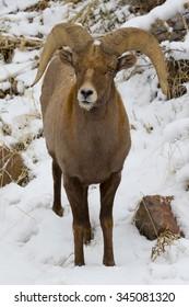 Rocky Mountain BIghorn Sheep in Waterton Canyon, suburban Denver, Colorado.