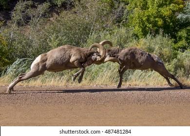 Rocky Mountain Bighorn Sheep at Waterton Canyon, suburban Denver - head butting ritual during the rut