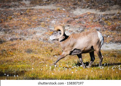 Rocky Mountain Bighorn Sheep, Wilcox Pass, Jasper National Park, Alberta Canada