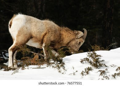 Rocky Mountain Big-Horned Sheep in winter, Banff National Park Alberta Canada