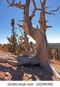 A Rocky Mountain bristlecone pine tree in the mountains.