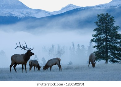 Rocky Mountain Bull Elk and Cows, Frosty Morning