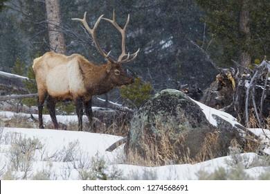Rocky Mountain Bull Elk, late winter