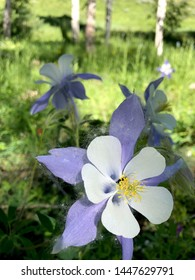 Rocky Mountain Colorado Columbine Bloom