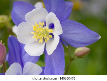 Rocky Mountain Columbine Outstanding flower known as the 'Rocky Mountain Columbine' or the 'Colorado Columbine.' The white and lavender columbine is the state flower of Colorado.