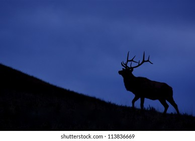 Rocky Mountain Elk against a deep blue sky, silhouette; Montana big game hunting