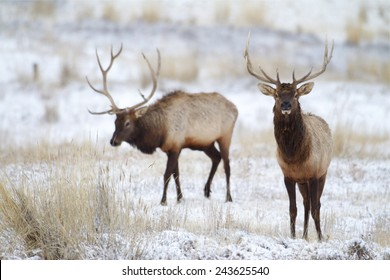 Rocky Mountain Elk, Cervus canadensis, antlered bulls / stags walking on winter snow