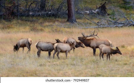 Rocky Mountain elk in Colorado