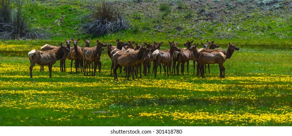 rocky mountain elk feed in a meadow near telluride, colorado
