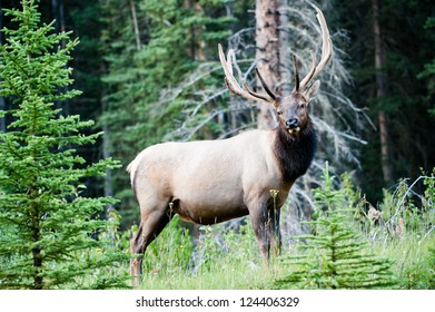 Rocky Mountain Elk (lat. Cervus canadensis) in the woods of Banff National Park, Alberta, Canada