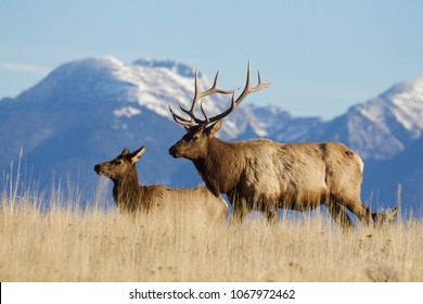 Rocky Mountain Elk in the Rocky Mountains of Montana