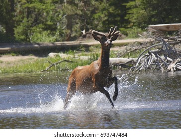 Rocky Mountain Elk splashing around in a mountain lake