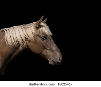 Rocky Mountain Horse isolated on black background