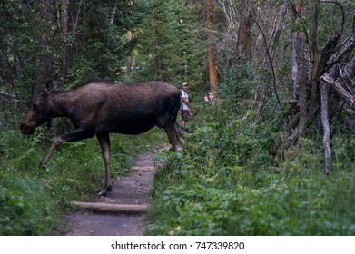 ROCKY MOUNTAIN NATIONAL PARK, COLORADO - AUGUST 2017 - A female moose crosses a trail in Rocky Mountain National Park in front of some dayhikers, showing off her long legs.