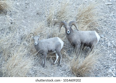 Rocky Mountain Sheep in the Rut in Yellowstone National Park
