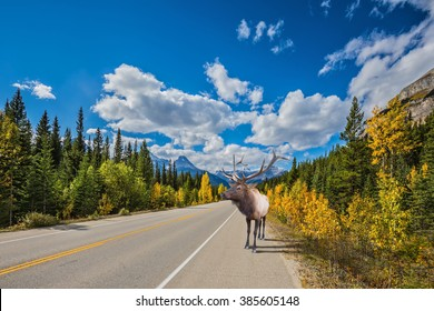 Rocky Mountains, Canada. Along the road is a magnificent deer with big horns