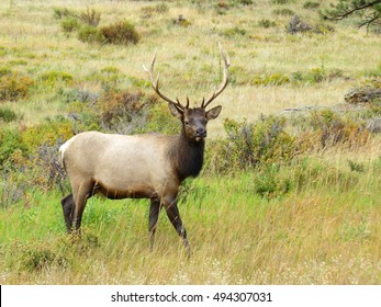 Rocky Mountains Elk