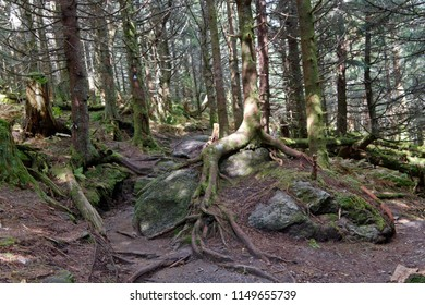 Rocky trail through an old, high elevation pine forest with tree gnarled roots growing on rocks