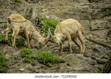 rocky-mountain goat