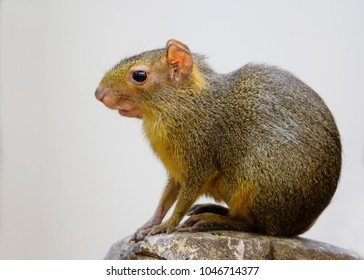 Rodent Agouti or South American Golden hare. Agouti is a small rodent from South America. This animal looks like a Guinea pig, but with longer legs. Aguchi is also called the Golden hare.