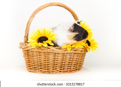 rodent Guinea pig sitting in a basket of flowers looking at the camera on white background isolated