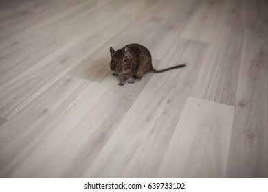 rodent on the floor