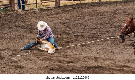 A rodeo cowboy having roped a calf ties three legs of the calf with a rope. The horse is holding the rope tight. The cowboy is wearing blue jeans, white hat and checked shirt. They are in an arena.