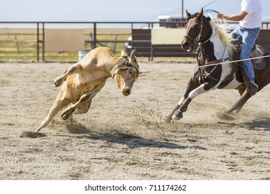 Rodeo Cowboys Heading and Heeling Team Calf Roping with shallow depth of field.  Focus is on the Cow.