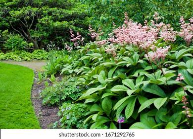 Planta florida Rodgersia aesculifolia en la familia Saxifragaceae, nativa del norte de China. En verano es una importante y herbácea flor perenne en forma de estrella rosa.