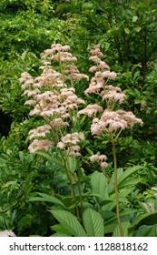 Rodgersia flowers in garden, pink