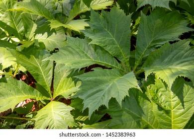 Rodgersia sambucifolia  - plant closeup grown in rich, acidic, humusy, consistently moist soils