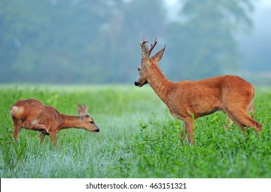 Roe buck and roe deer cub