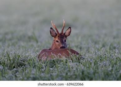Roe buck in the field, (capreolus capreolus), germany