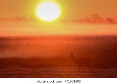 Roe buck in front of the sunrise, moor in the spring, (capreolus capreolus)