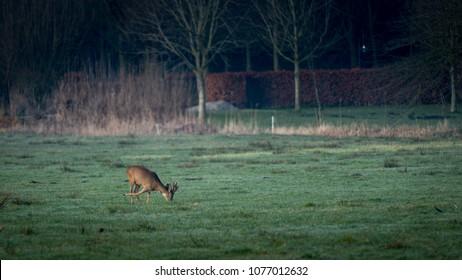 Roe buck grazing