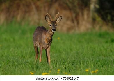 Roe buck on the meadow, spring,  (capreolus capreolus)