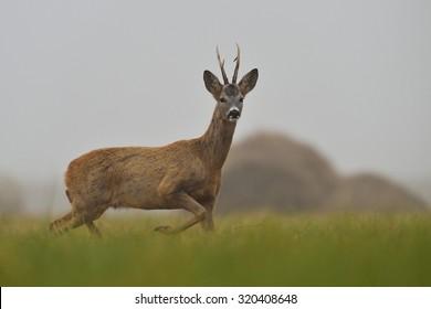 roe buck walking in the field