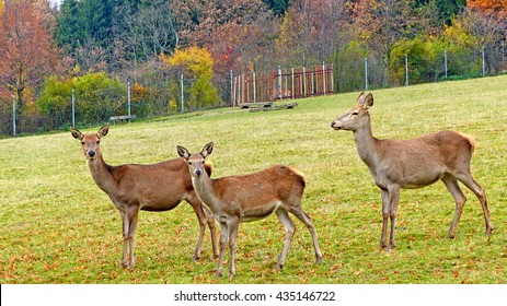 Roe deer in an animal enclosure in Ore Mountains in Germany, three female animals on a meadow/Roe deer on a meadow