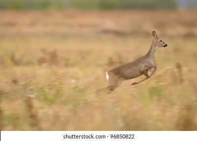 roe deer in autumn