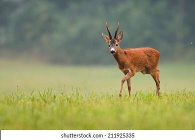 Roe deer buck / capreolus capreolus / with big antlers walking on the field, with blurred background, wildlife. Horizontal orientation.