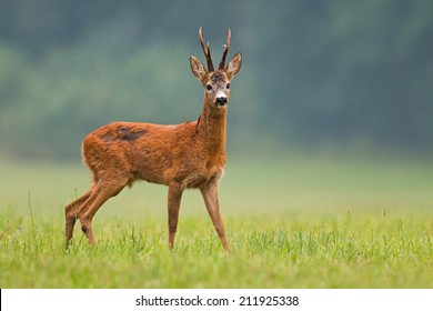 Roe deer buck / capreolus capreolus / with big antlers standing on the field and watching, with blurred background, wildlife. Horizontal orientation.