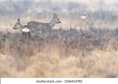 Roe deer buck and doe in moorland in winter.